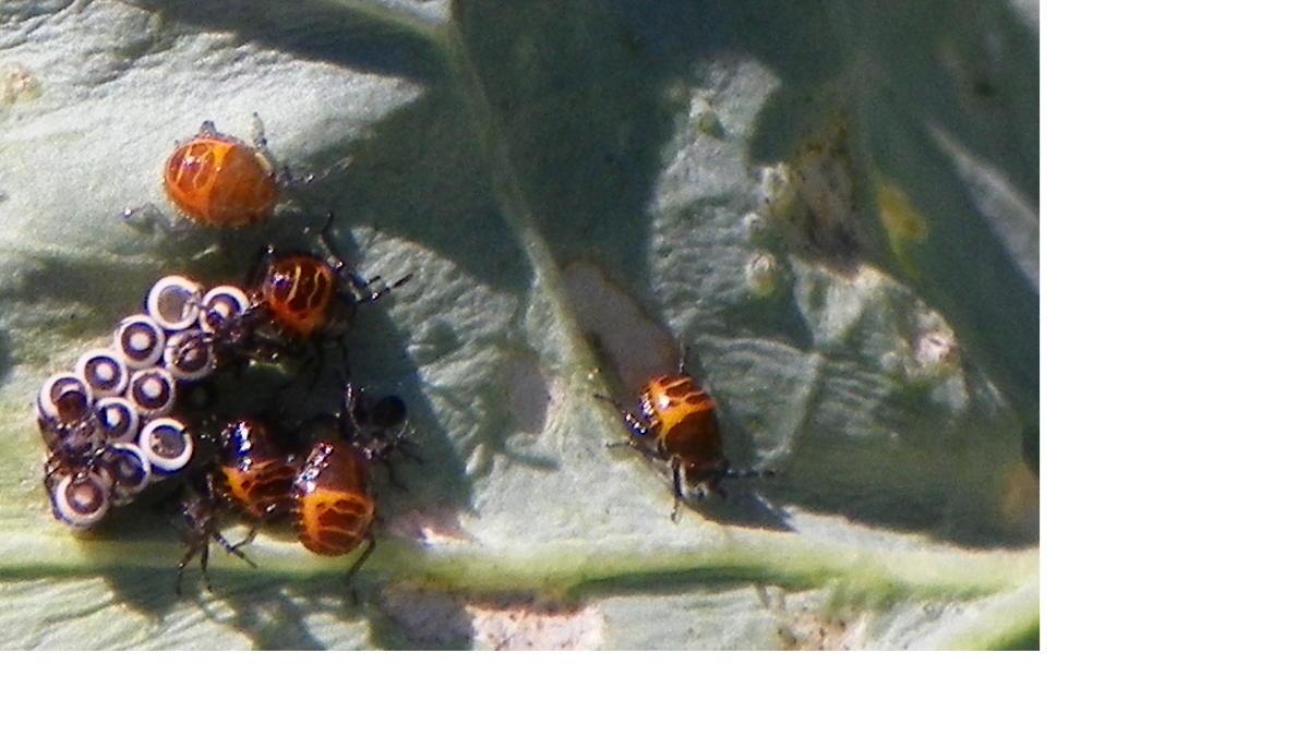 Harlequin Bug nymphs emerging from their eggs. I was excited to see this process.