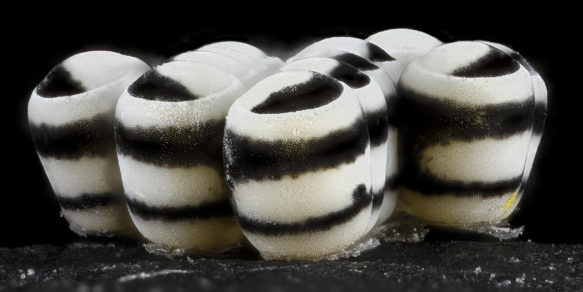 Close-Up of Harlequin Bug (Murgantia histrionica) Eggs