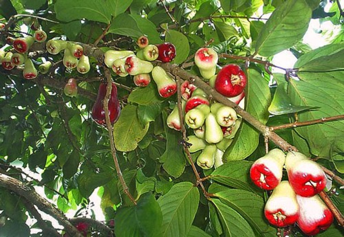 Ripening mountain apples