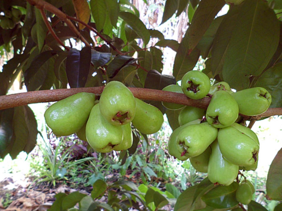 Green unripe mountain apples