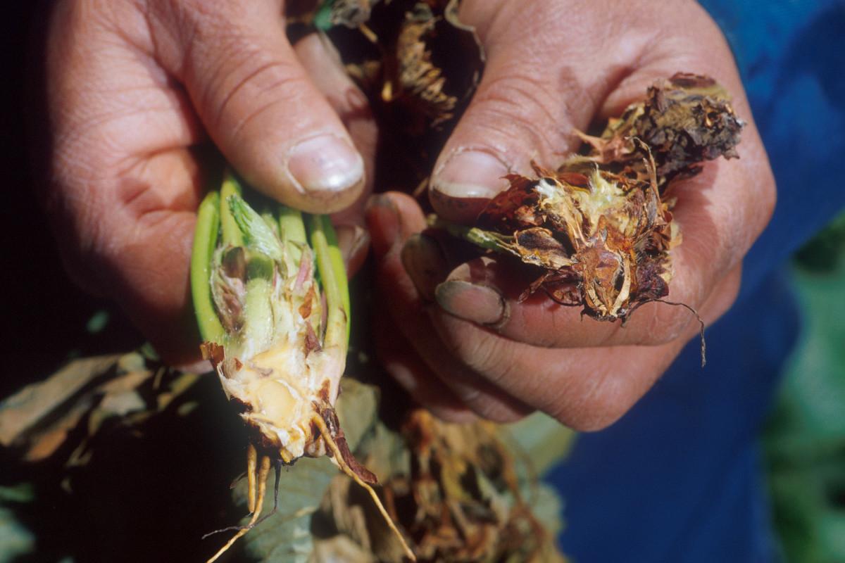 Verticillium wilt infestation.