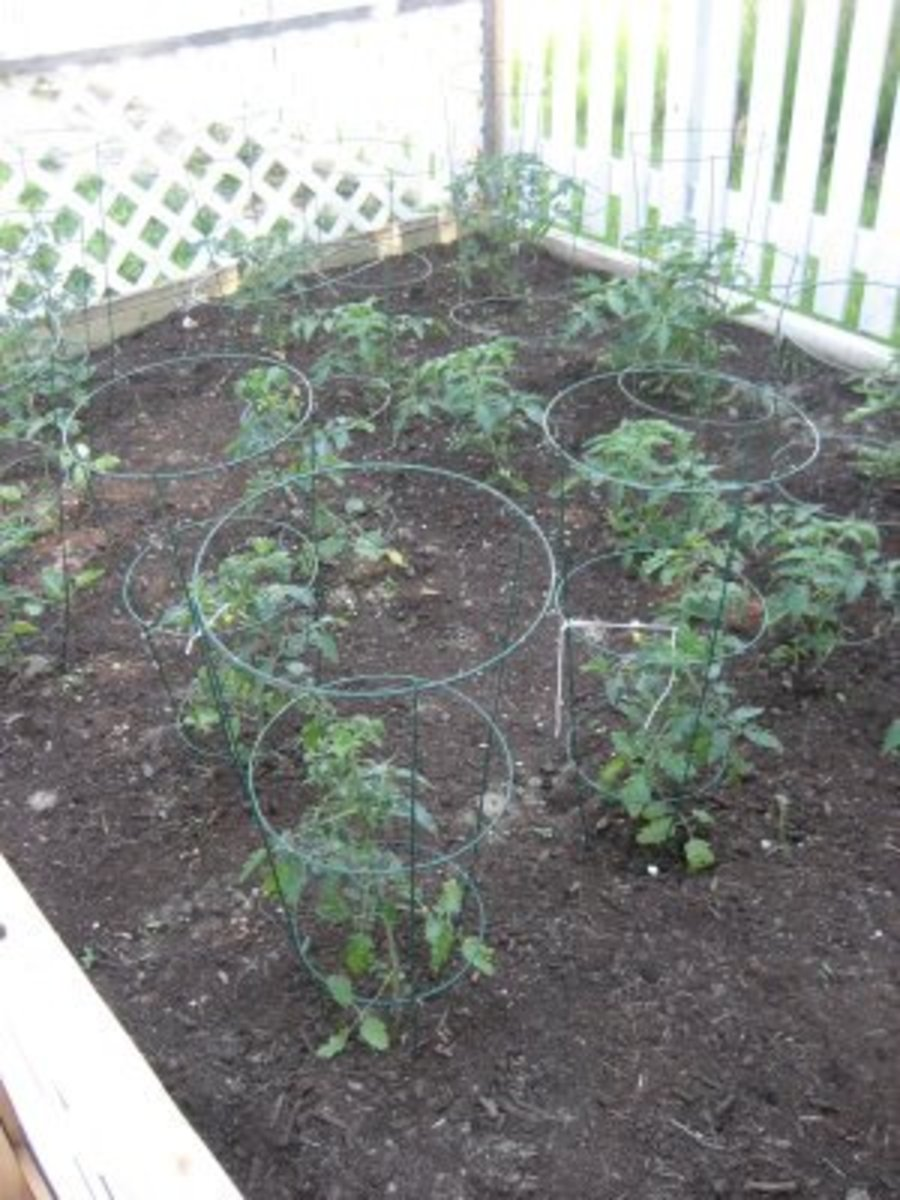 Metal plant hoops help support the heavy stems once they grow and bear fruit.