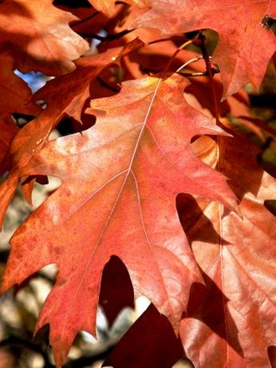 awesome color in an oak leaf