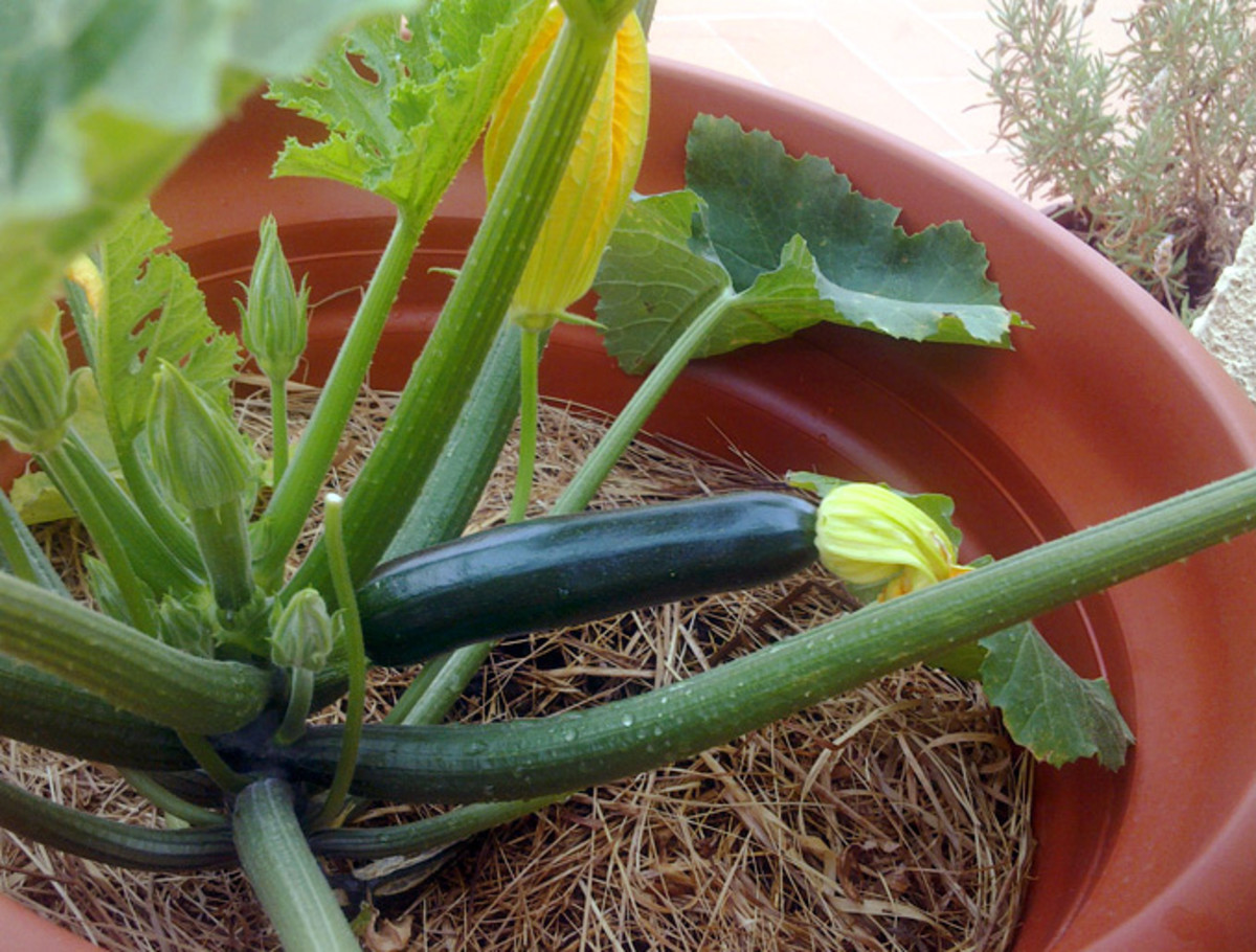 A good sized zucchini ripe for picking