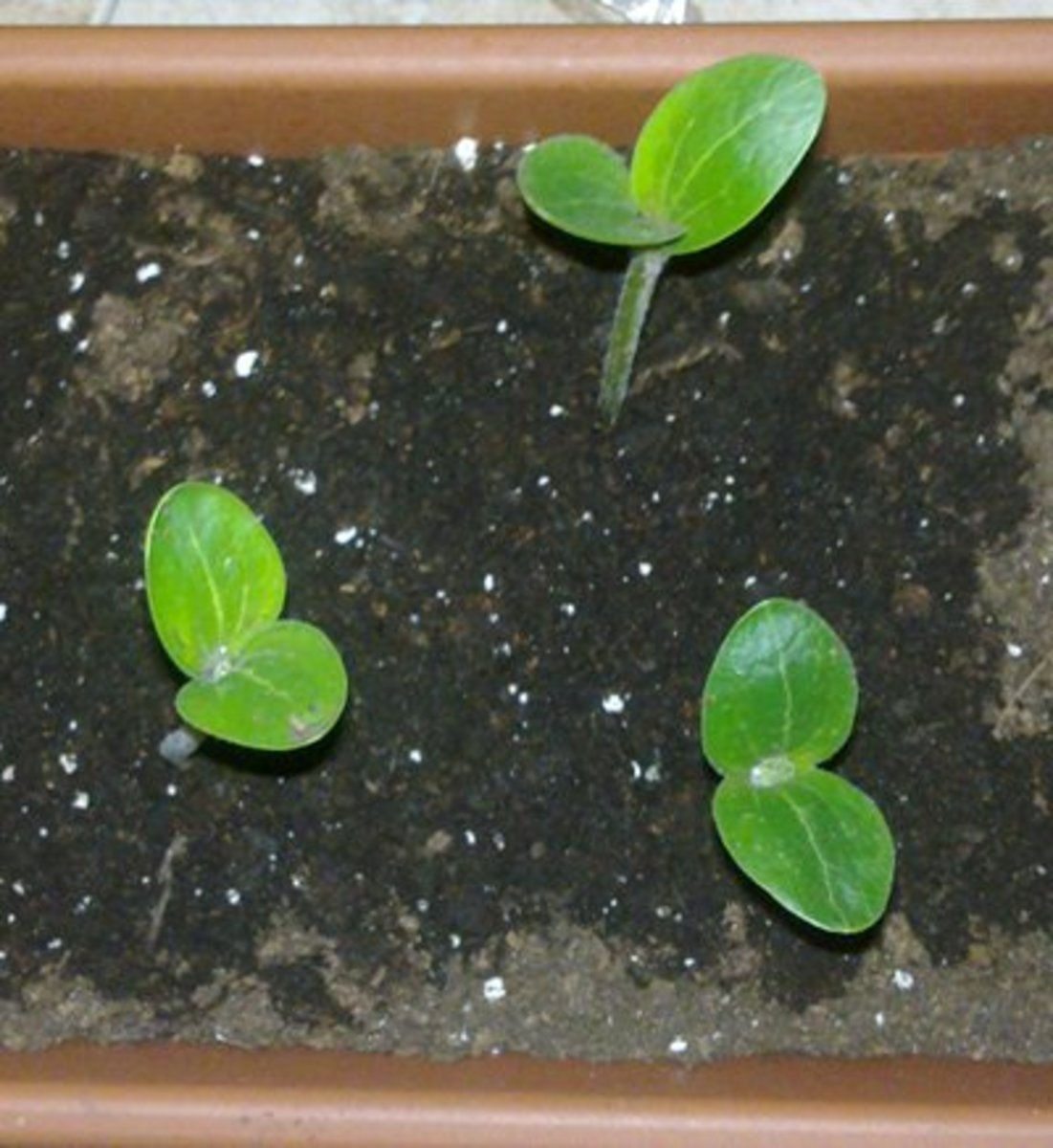 "Seedlings with the first two ""leaves"" or cotyledons"