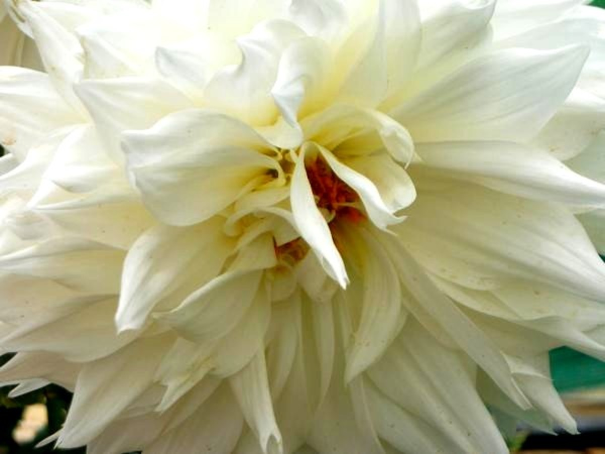 dahlia-flowers-flower-pics-and-facts