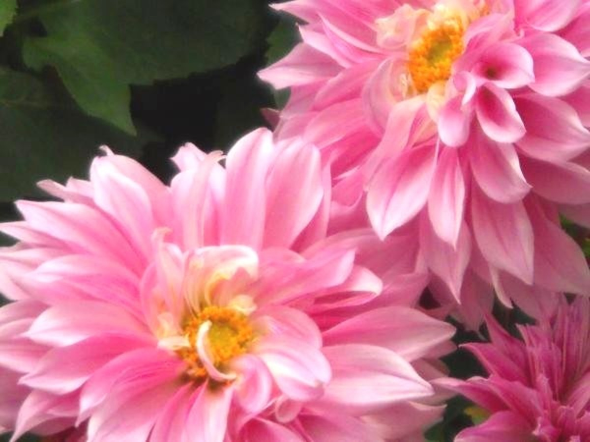 dahlia flowers pictures and how to grow and care for dahlias