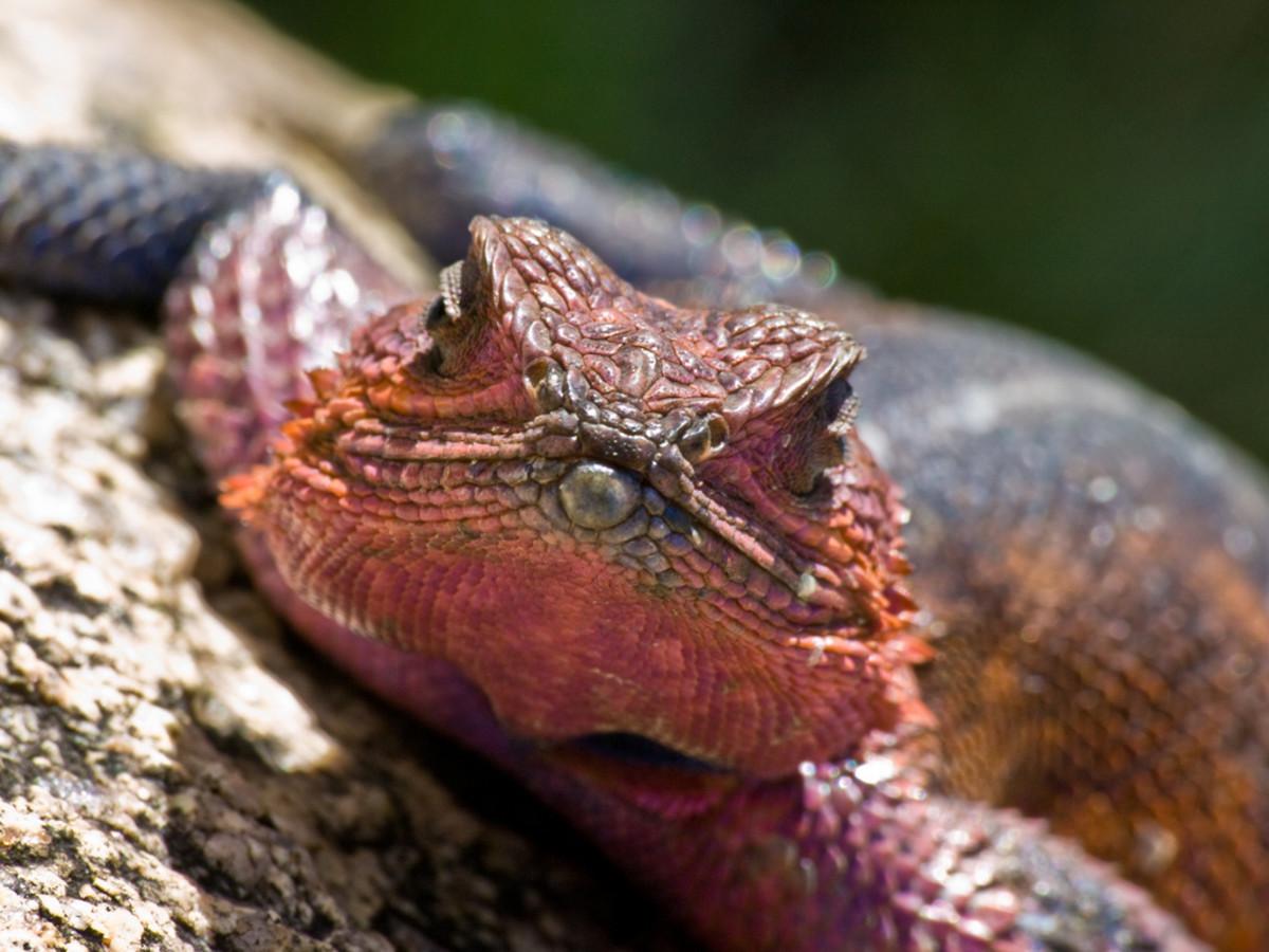 Male Agama Lizard