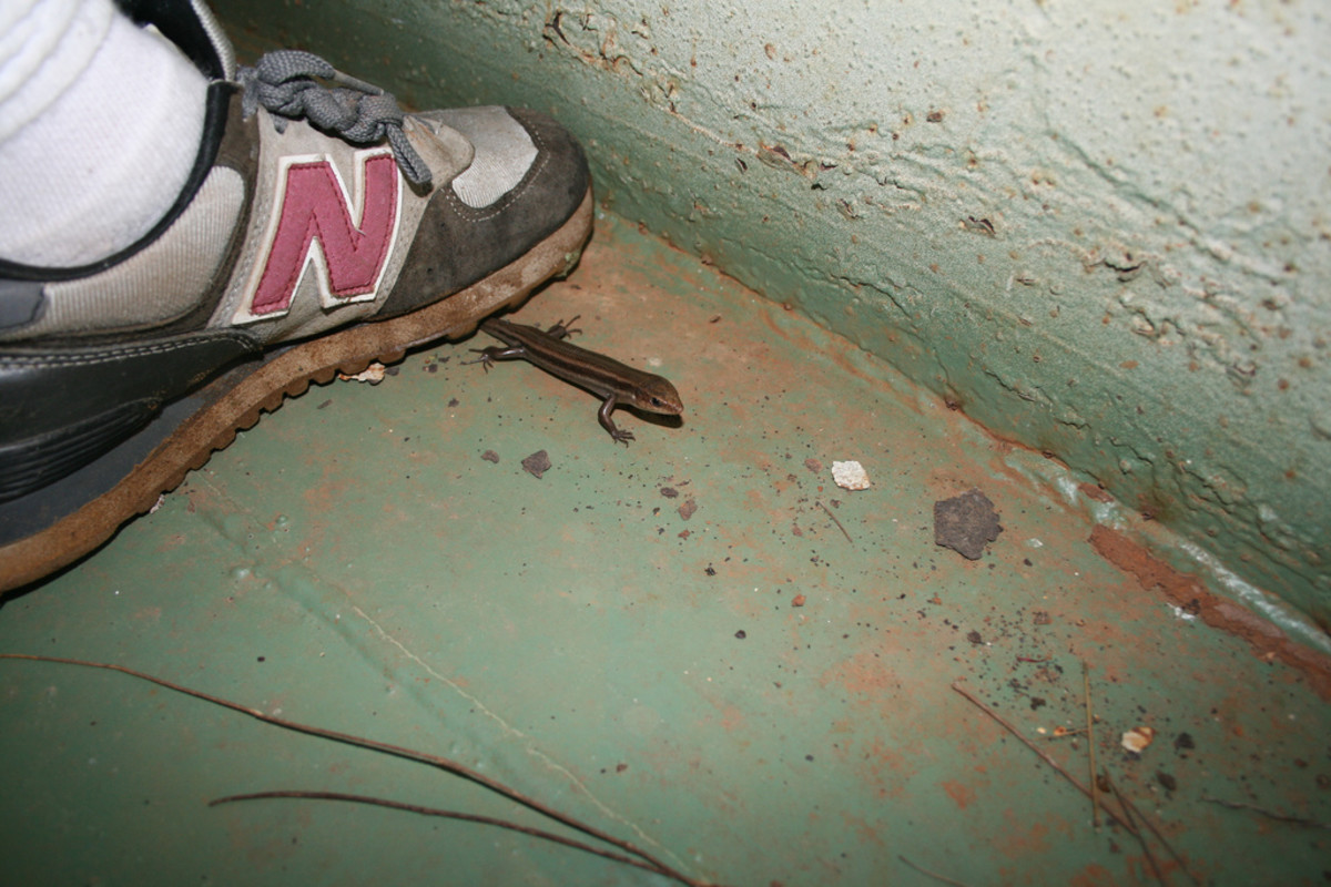 How Not to Catch a Lizard. This could cause harm to the lizard; and, some lizards lose their tails to distract would be predators.