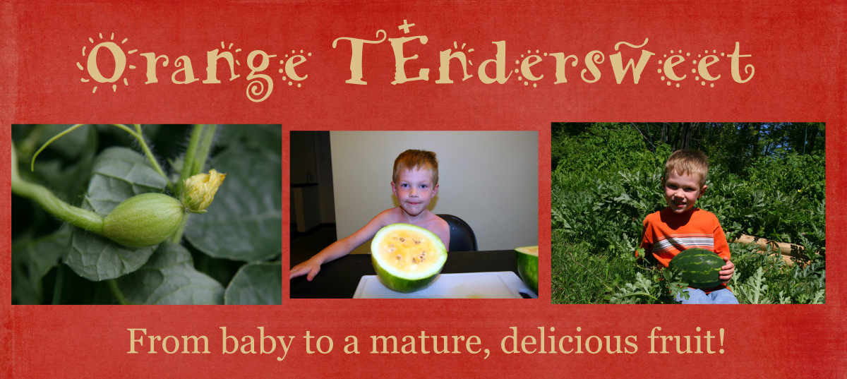 Orange Tendersweet watermelons grow quickly to create a delicious snack!