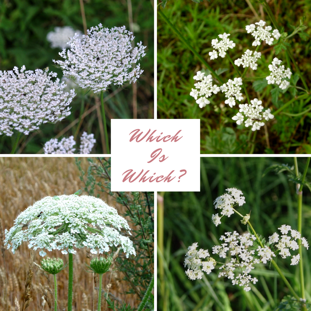 Answers: Top left: Queen Anne's lace; top right: poison hemlock; bottom left: giant hogweed; bottom right: cow parsley