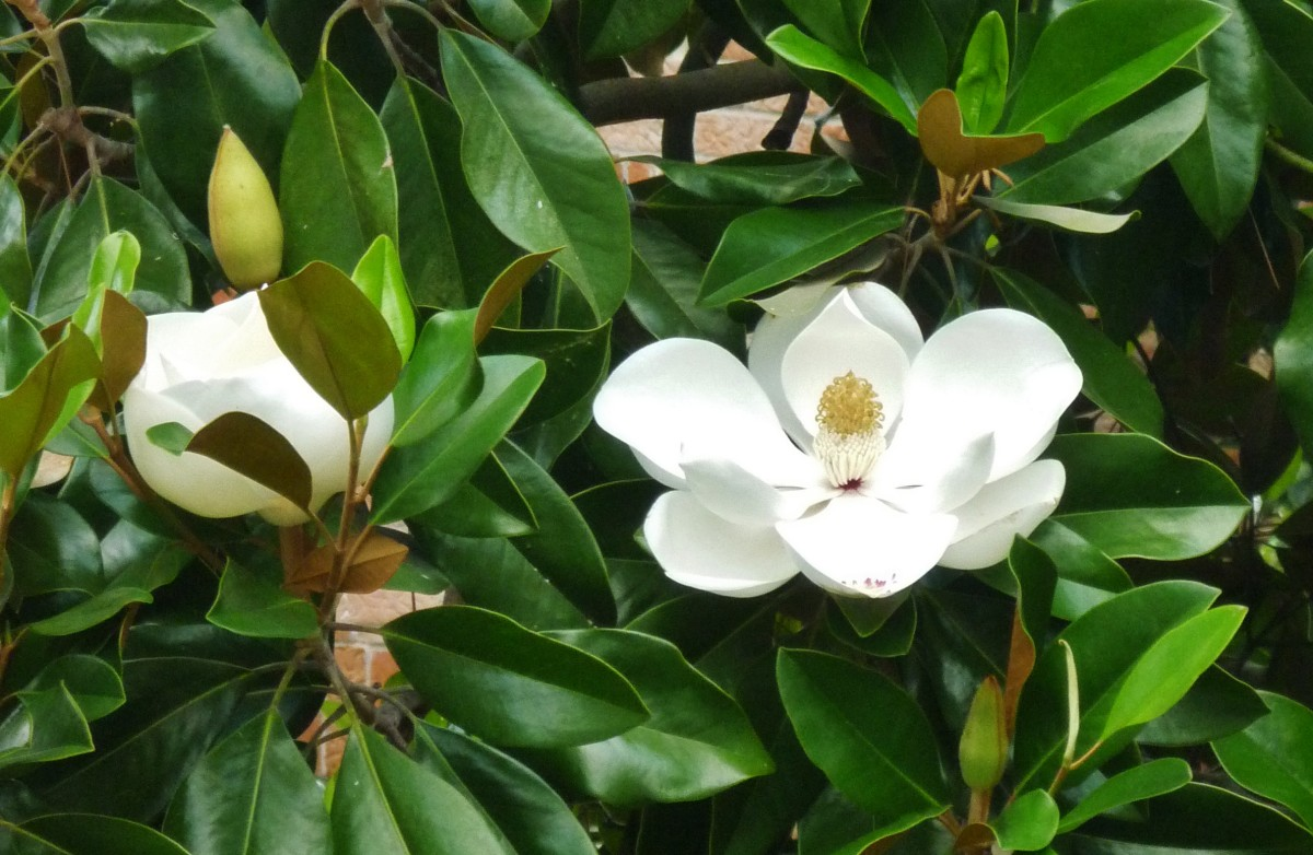 Southern Magnolia Tree Facts In Deep South Landscapes Dengarden