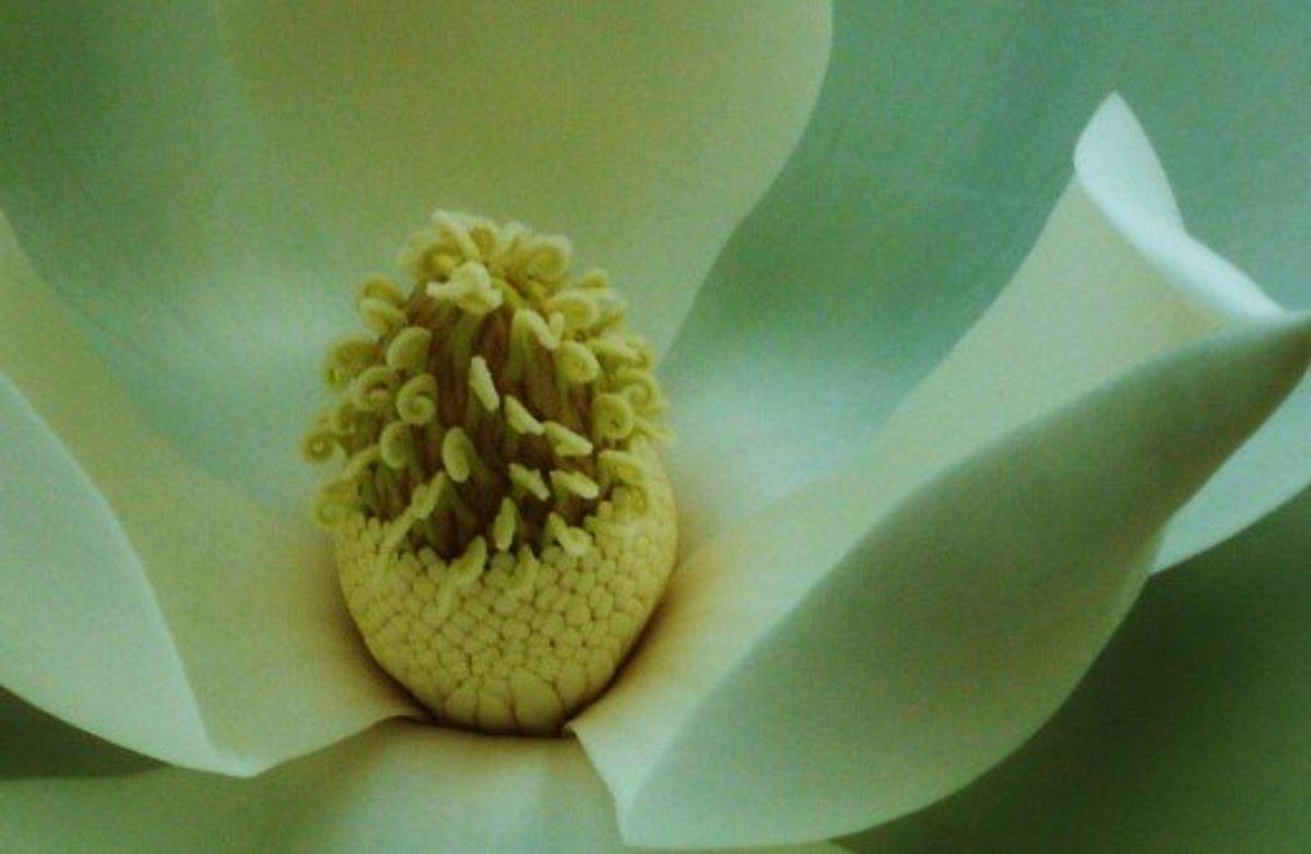 Inside of a magnolia blossom