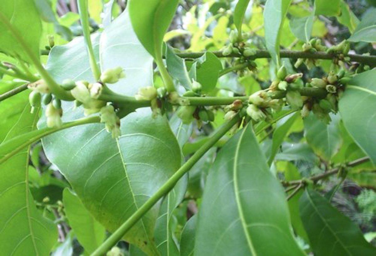 Abiu flowers