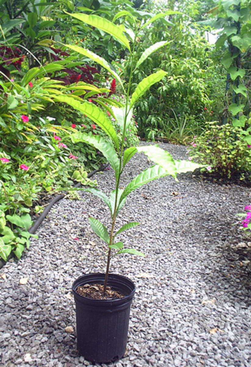 Abiu seedling (6 month old)