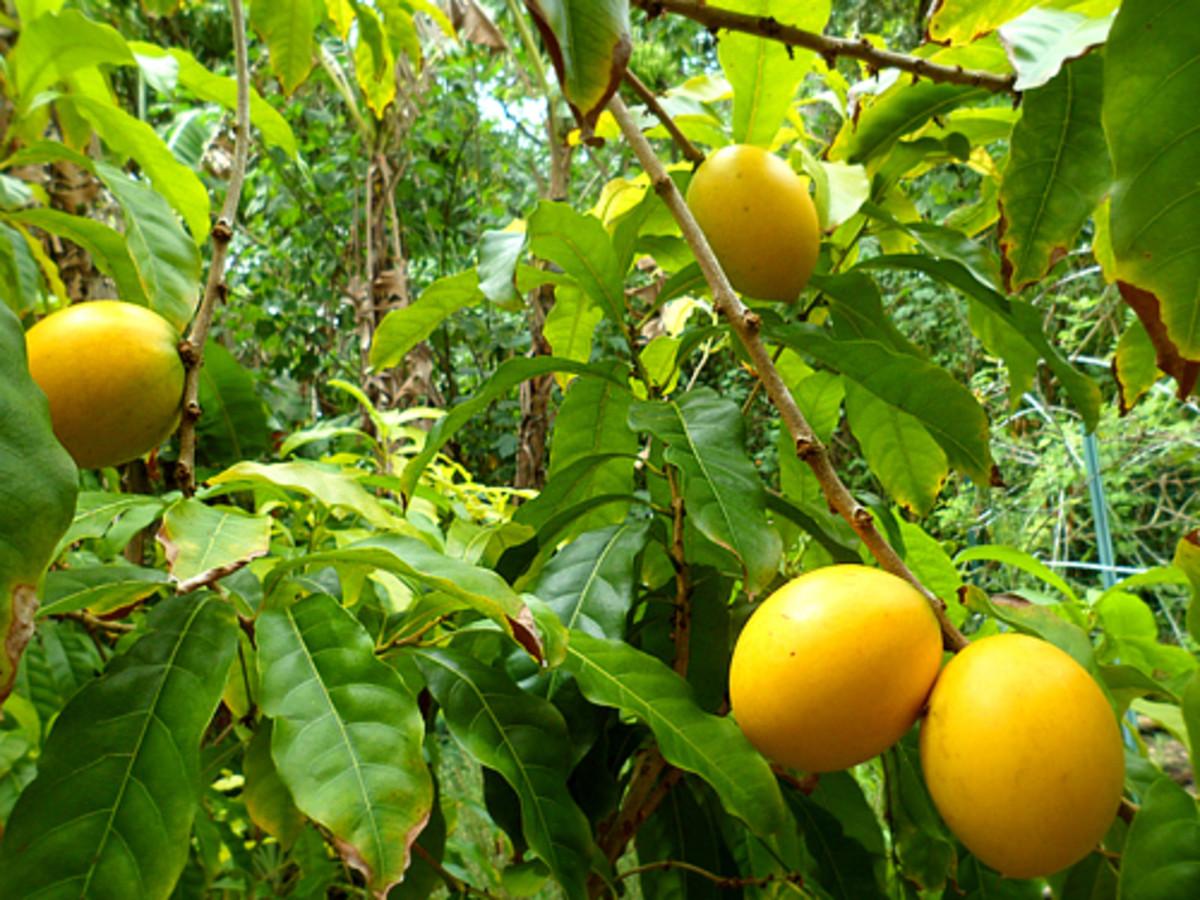 The abiu fruit tree