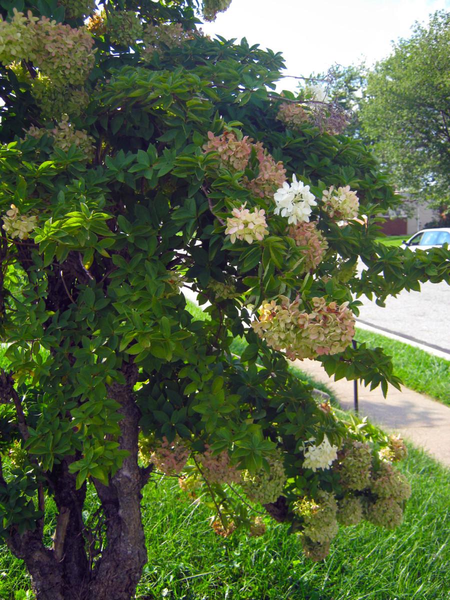 Hydrangea paniculata/pee gee hydrangea