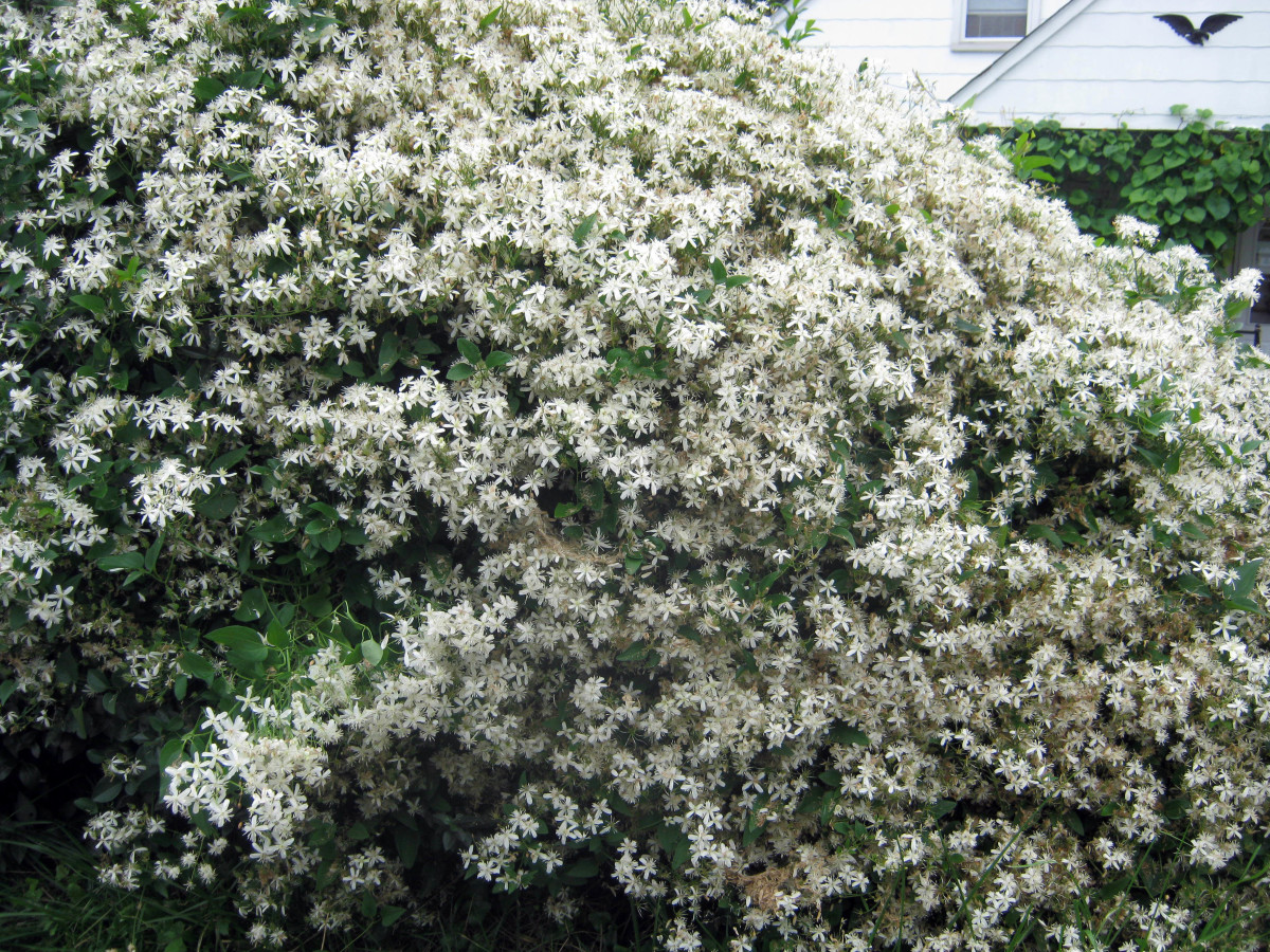 The frothy confection of a Sweet Autumn Clematis vine looks lovely on a trellis or cascading over a wall or fence.