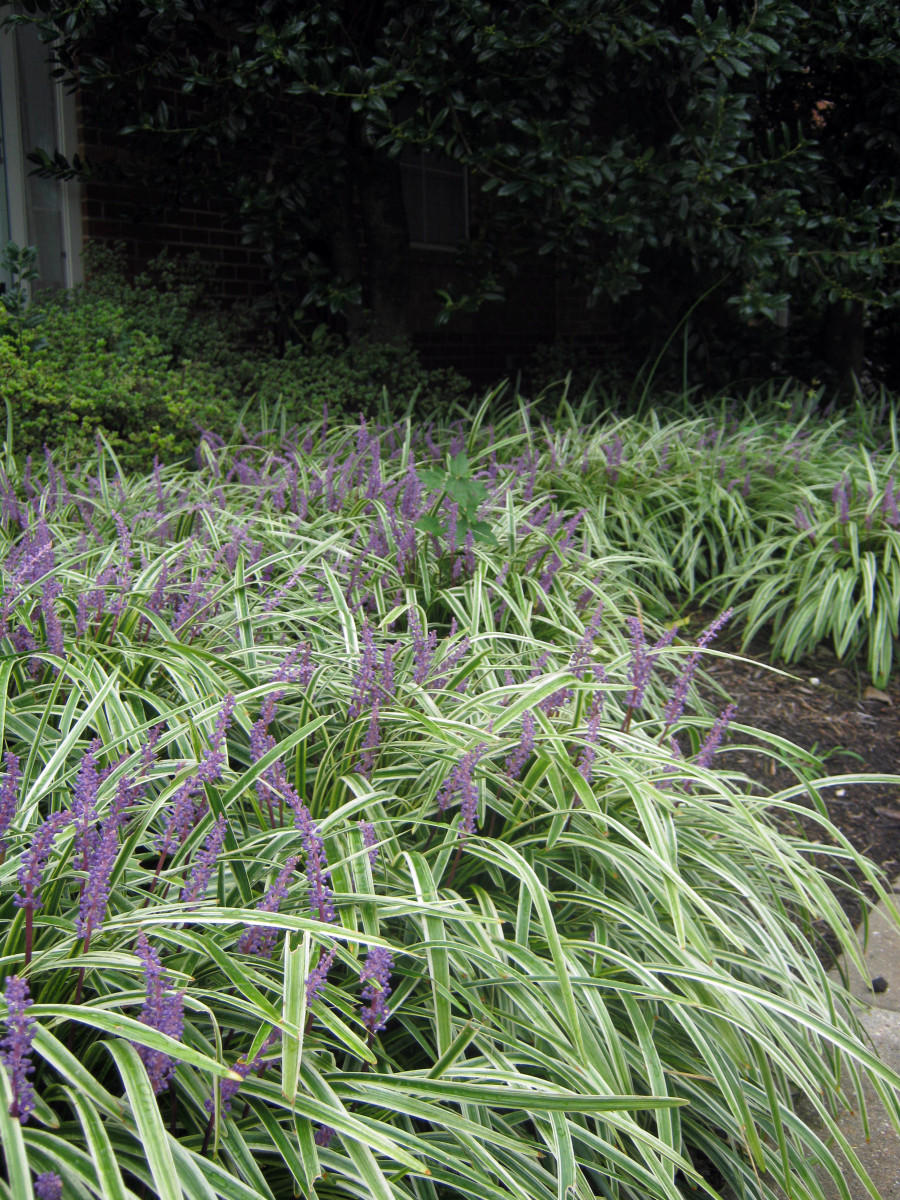 A variety of Liriope with variegated foliage