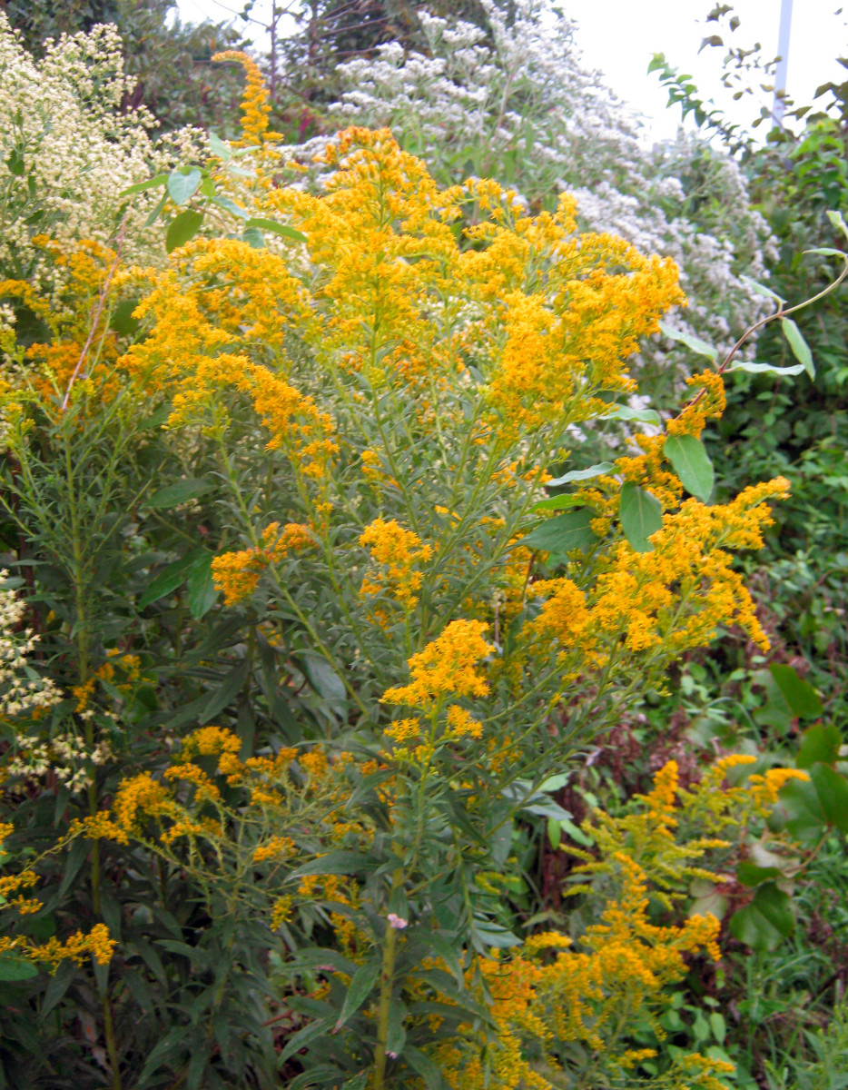 Do not confuse Solidago, or Goldenrod, with Ragweed.