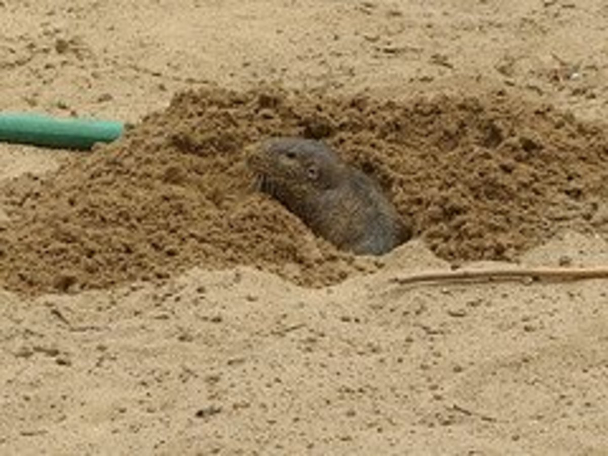 Moles can be very destructive in a garden.  Get them out while you still can!