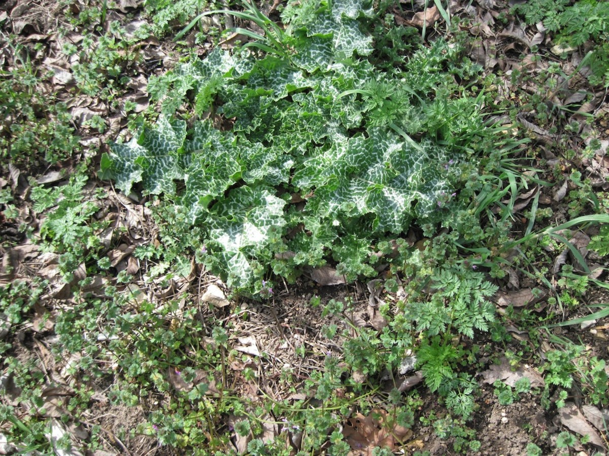 Milk Thistle and Hemlock: The Prickly and the Poisonous