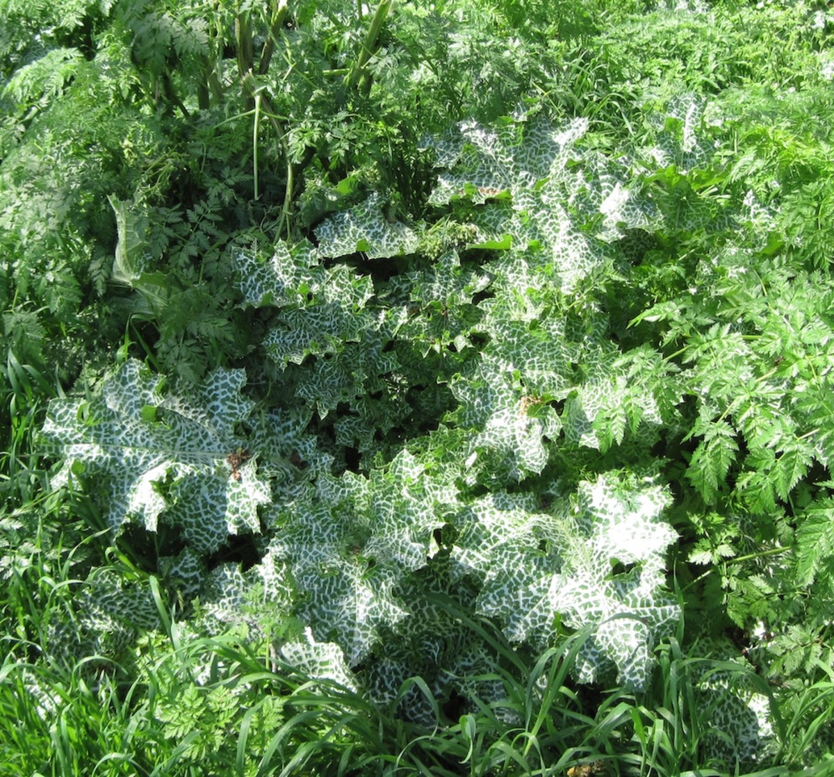 Milk thistle in a patch of poison hemlock.