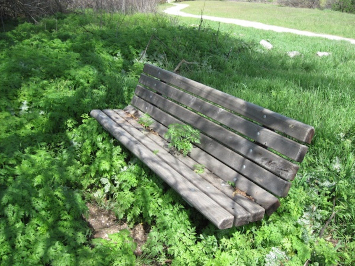 A park bench in midst of a forest of young poison hemlock. One plant is even growing right through the seat of the bench. Taken in winter or early spring at Lawrence Moore Park in Paso Robles.