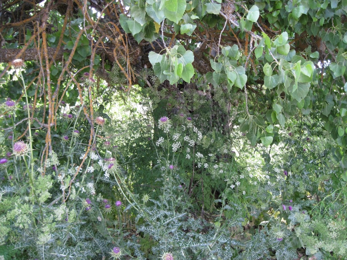 Do not try to pick these white flowers. Purple milk thistle flowers grow among the lovely white poison hemlock flowers with their frilly leaves.