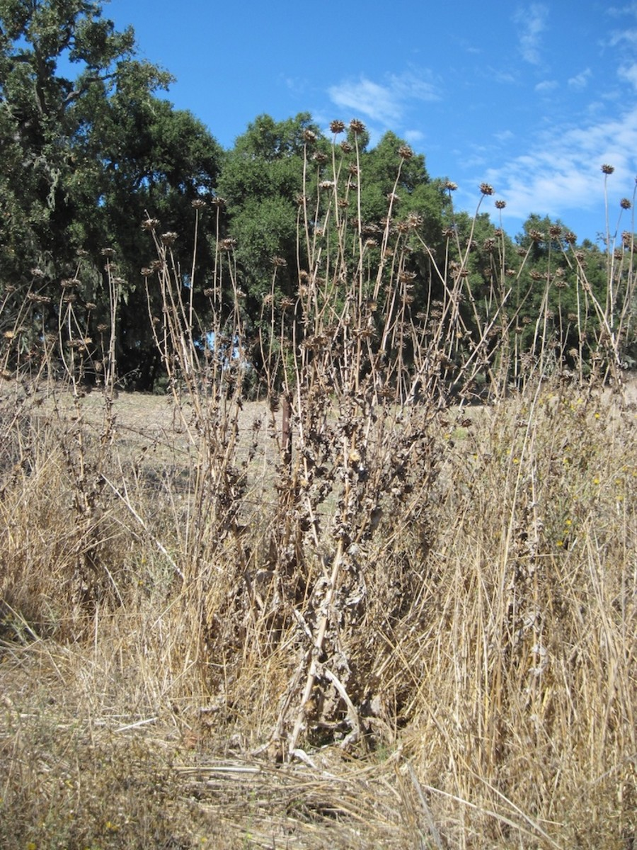 This picture (taken on Oakview Drive on October 15) shows last year's dried thistle forest.