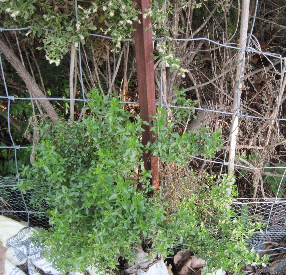 At the top you see blooming coyote bush which will soon be spreading seeds over the fence. Below are younger shoots from the branches pruned last year. Behind the fence, low on the right, poison hemlock lurks, ready to grow up and do its own invading