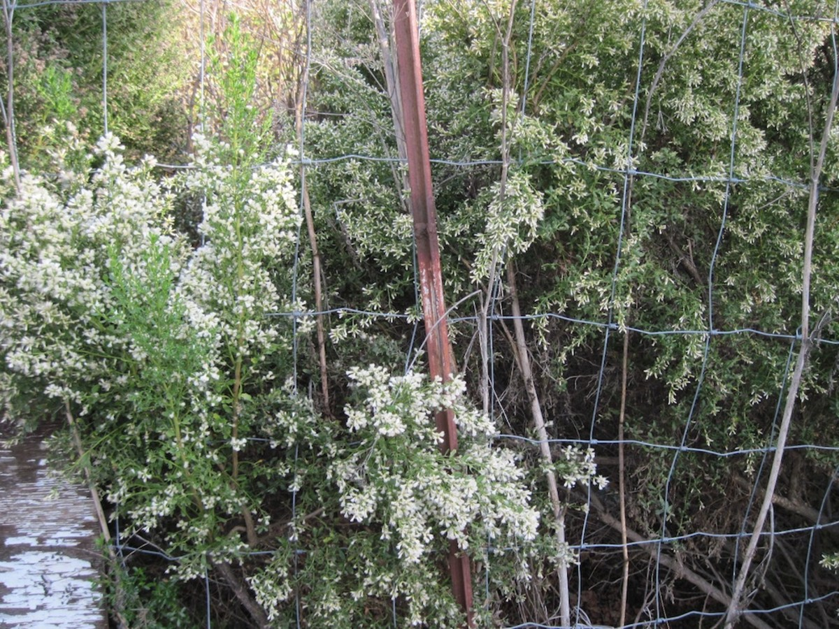 This coyote brush is determined to seed my garden. When I get a chance, I try to put newspaper or cardboard on the ground about a yard out from the fence to stop the invading coyote bush and poison hemlock.