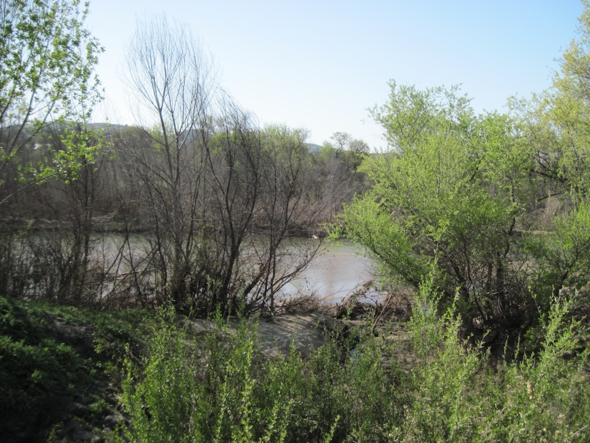 The green shrubs on the right and in foreground are erect coyote bushes growing on the bank of the Salinas River in Paso Robles at Lawrence Moore Park.