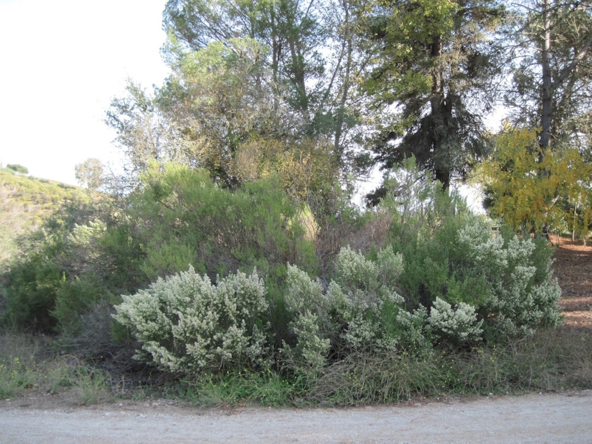 These coyote bushes in bloom show how this clump has spread over the years it has not been controlled. The older ones that have green tops aren't as neat anymore. The tree right behind the clump is full of poison oak.