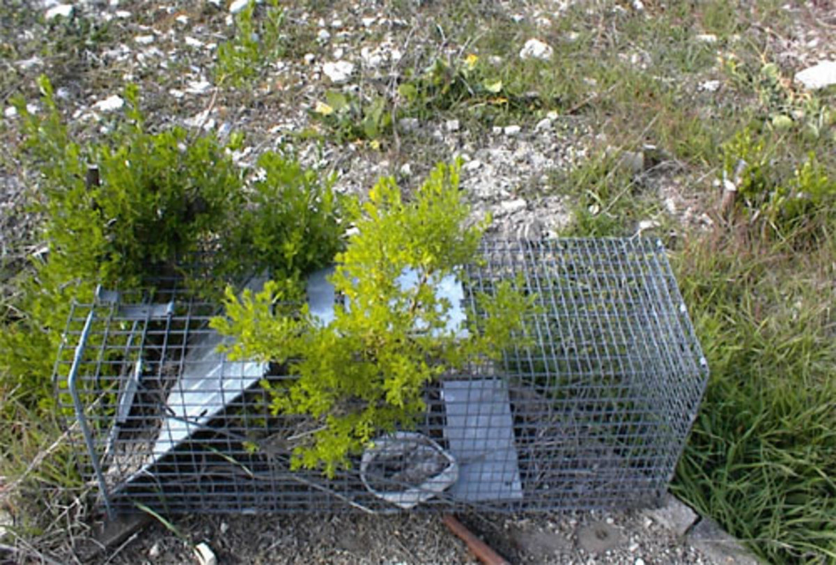 This is the trapped trap, unlucky enough to be neglected and forgotten while the coyote bush was germinating under it. Another coyote bush trick.