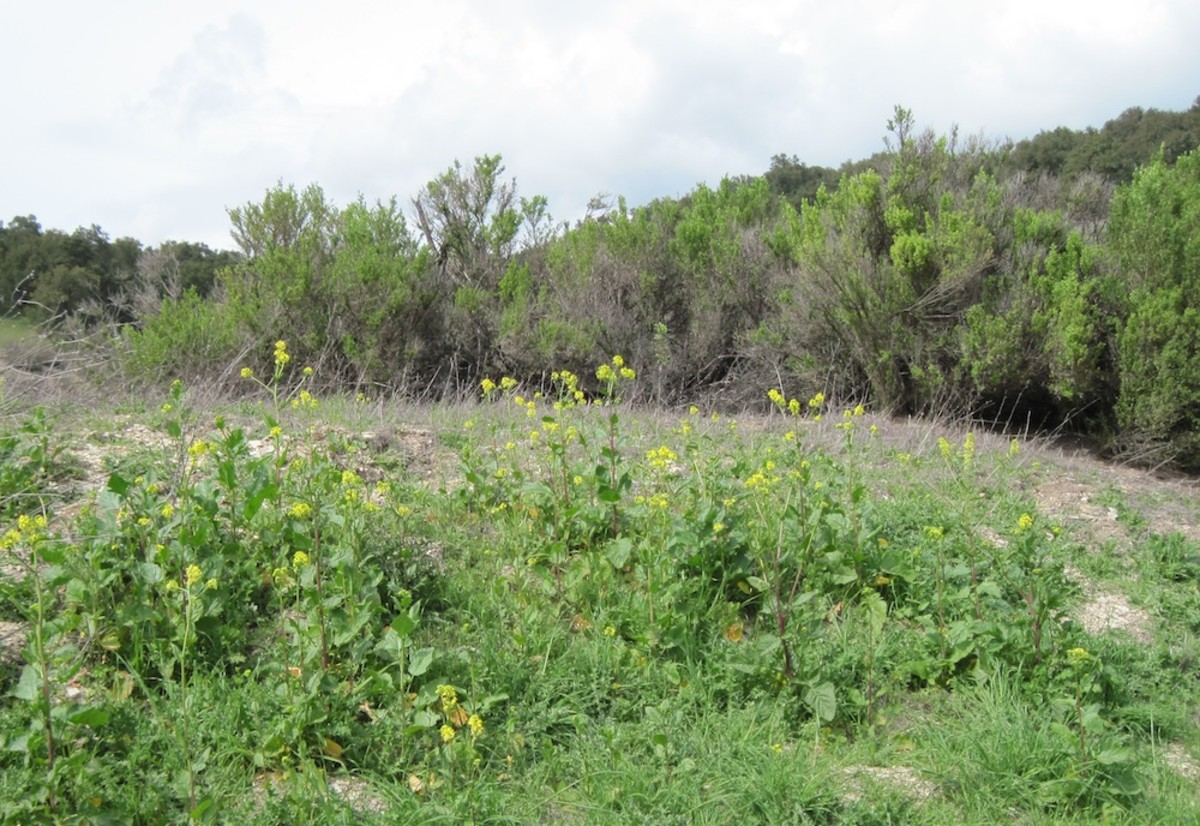 Most of the hedge at the back of this picture is composed of coyote brush. Right behind it,and mostly invisible in this photo is the poison oak. In the foreground we have blooming wild mustard.