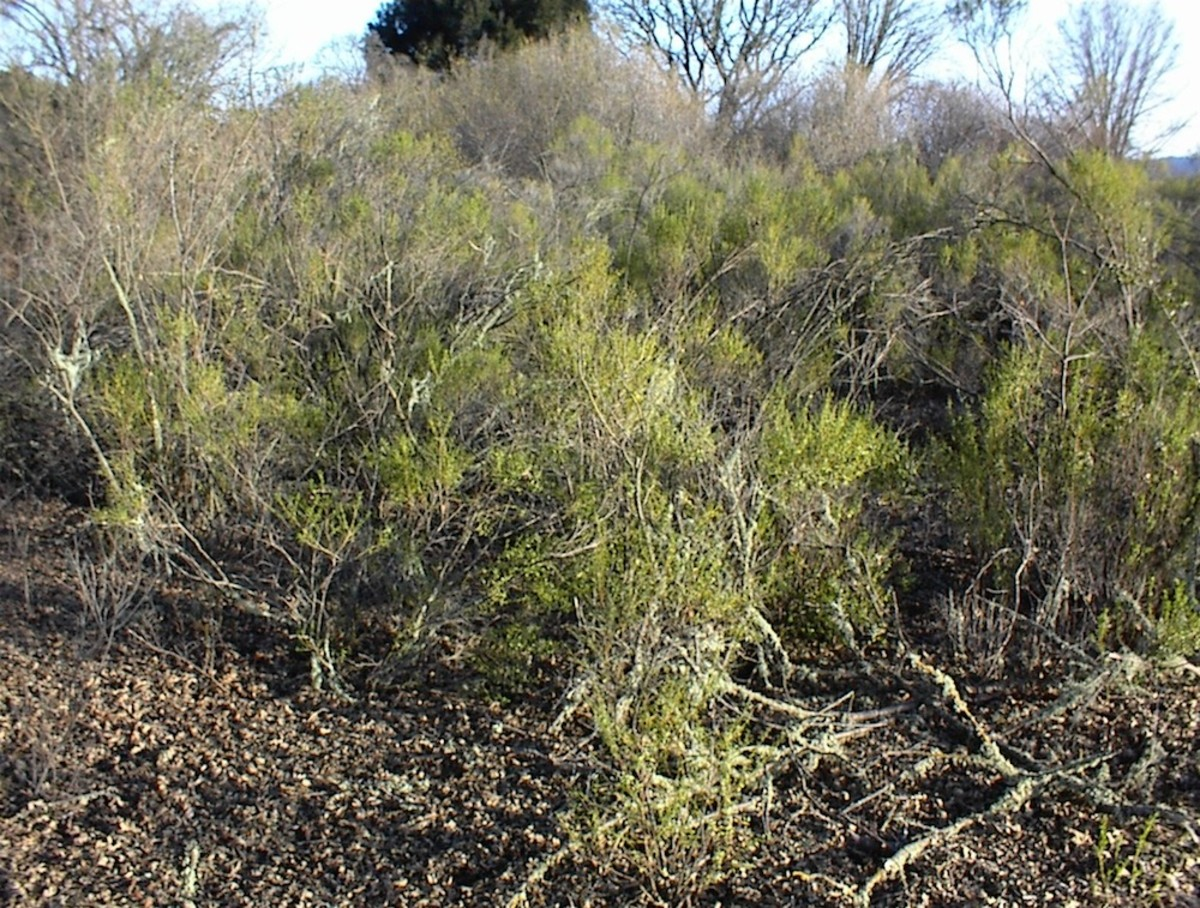 This picture shows how unkempt coyote bush can look when it takes over.