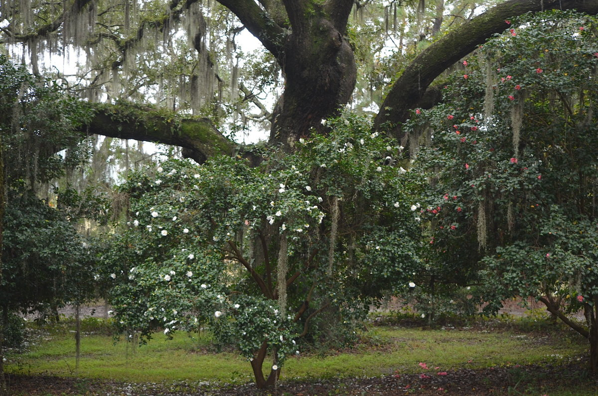 Camellia sasanqua under a live oak