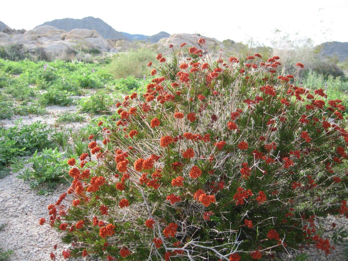 Eriogonum fasciculatum (Eastern Mojave Buckwheat) wild in Joshua Tree National Park