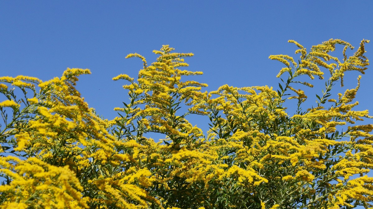 Berberis thunbergii produces big flower displays, but creates thickets that crowd out native plants and harbor ticks.