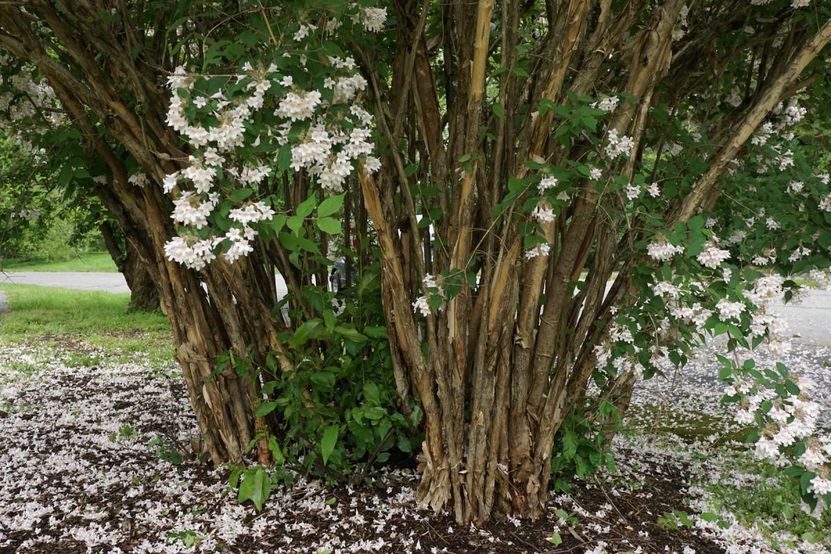 Beauty bush (Kolkwitzia amabilis)