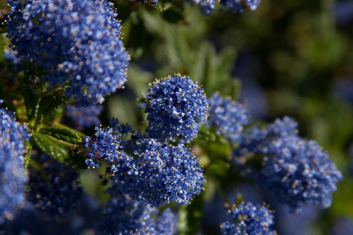 A dark blue Ceanothus
