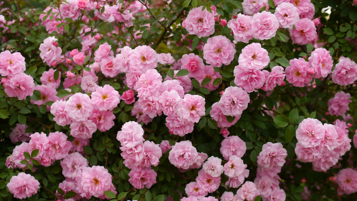 """John Davis"" shrub rose."