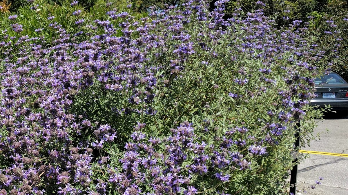 "Salvia leucophylla x clevelandii ""Alan Chickering"""