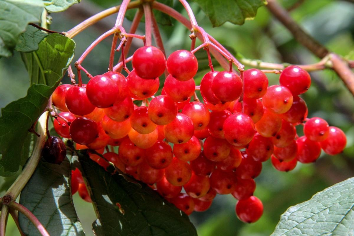Viburnum berries are a huge decorative bonus!