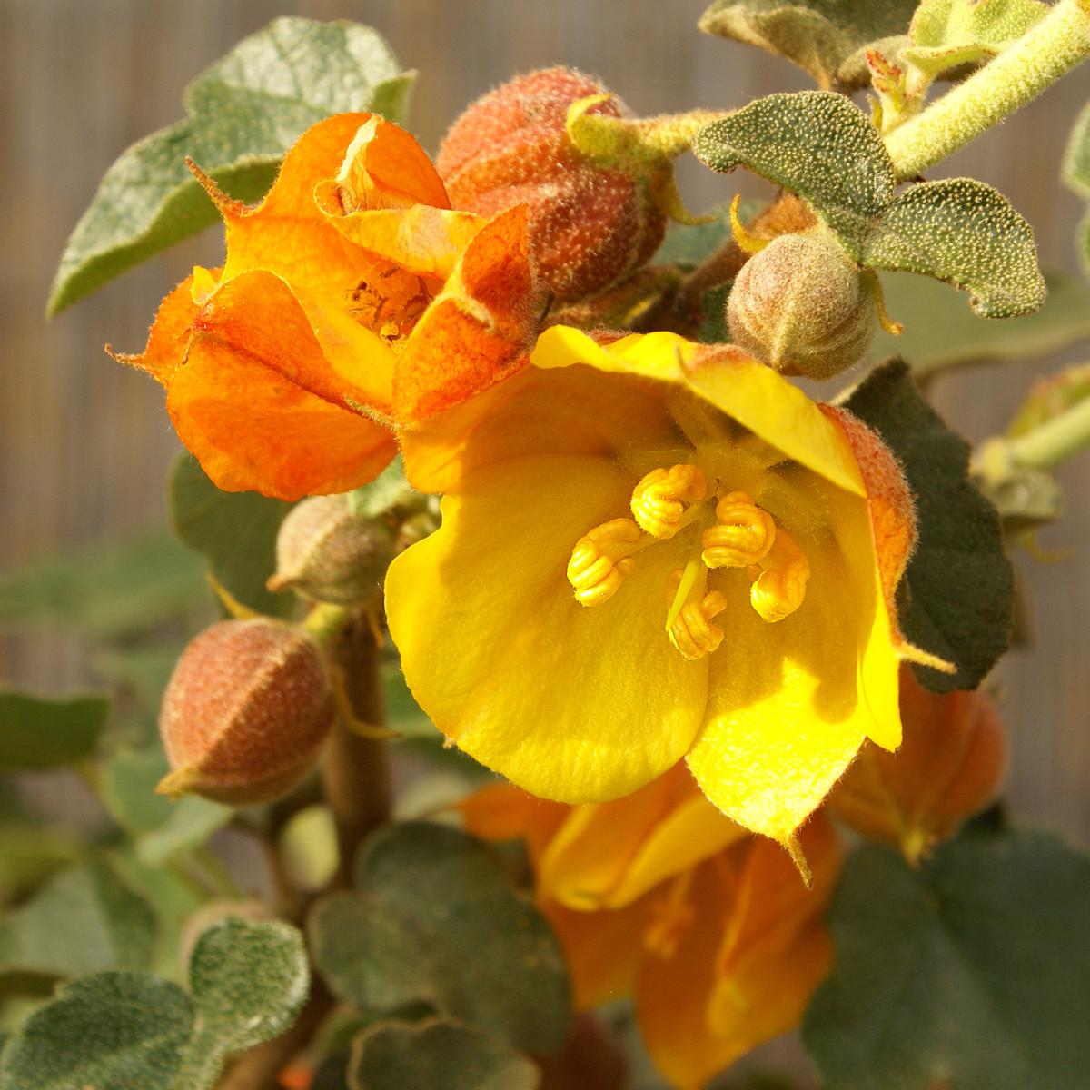 """Fremontia hybrid (Fremontodendron """"Ken Taylor"""""""