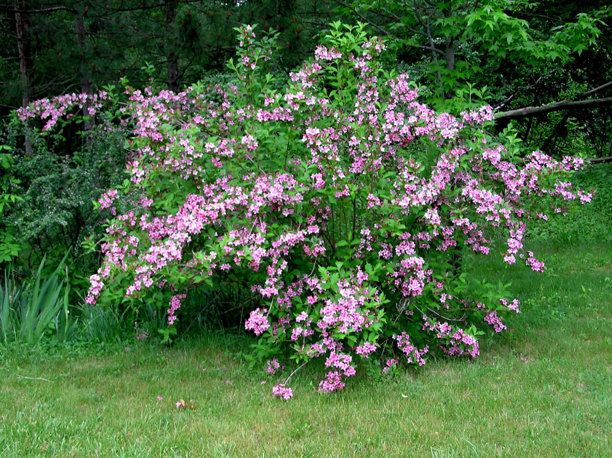 "Weigela's ""untidy habit"""