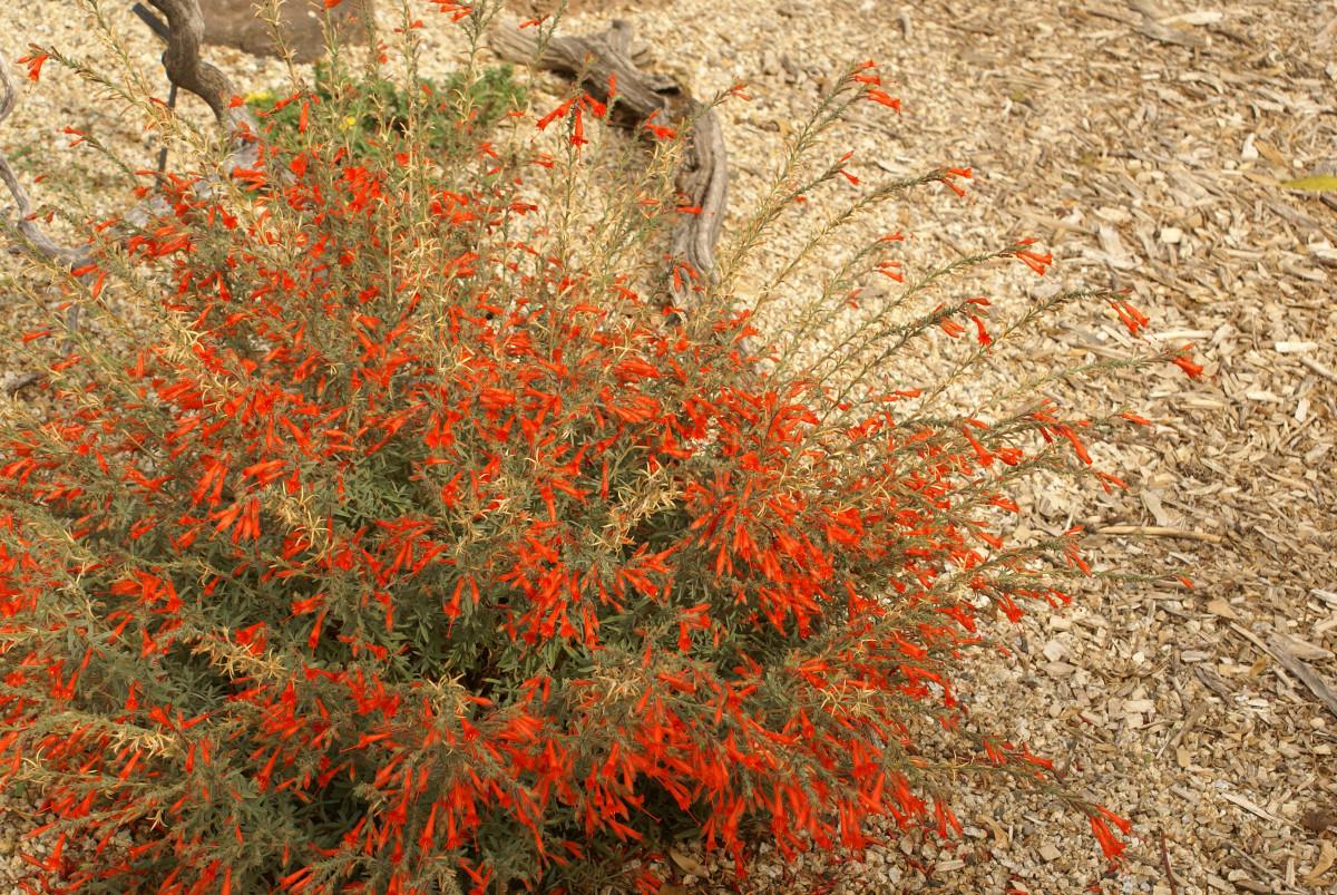 Zauschneria californica (Epilobium canum)