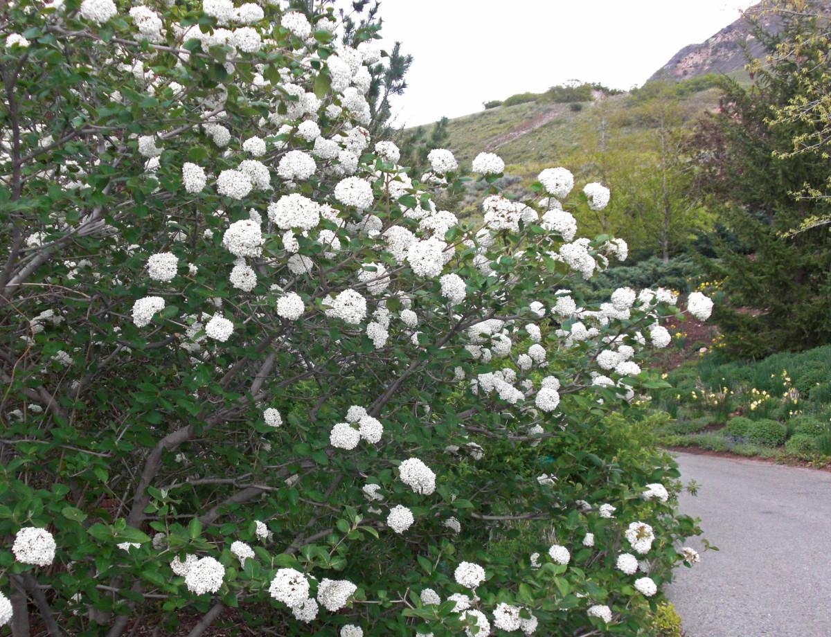 The berry-less but highly fragrant hybrid Viburnum carlesii
