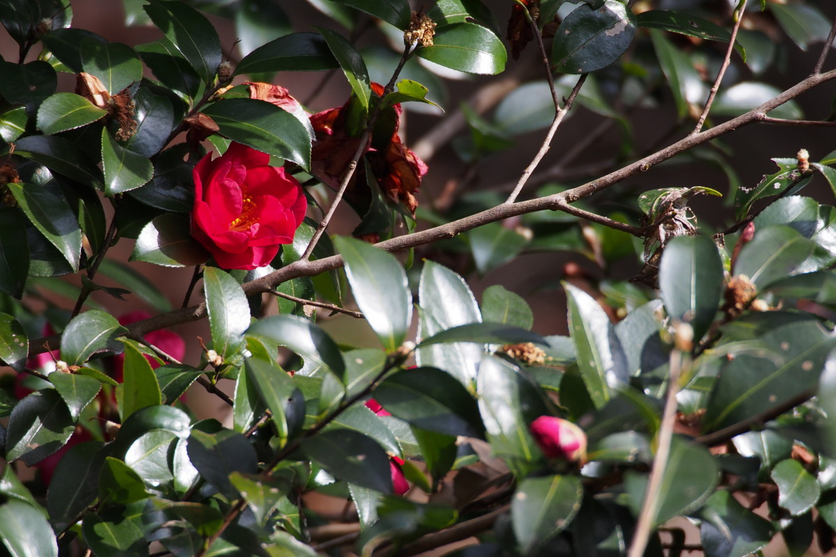 Camellia japonica with its glossy leaves comes in white, pink, and striped as well as red.